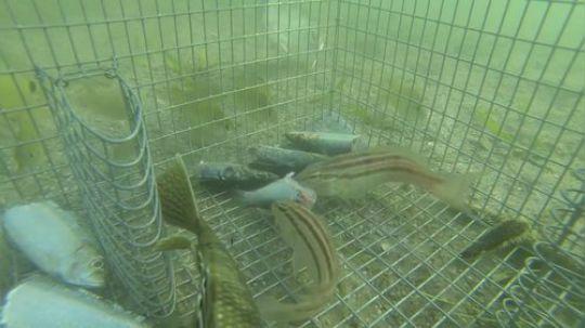 水下摄影:诱饵捕鱼