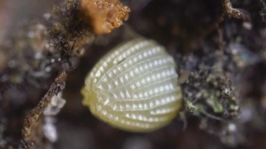 蛱蝶变态蜕变发育过程