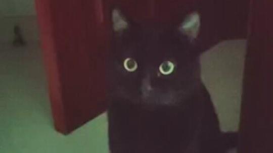家有一猫,猫之大,一锅炖不下。(视频来自我妈)