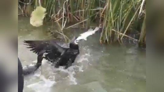 今年的六只鱼鹰第一次下水