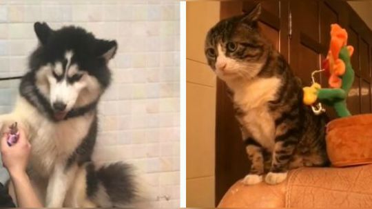 猫是正经猫,铲屎的正不正经就不知道了