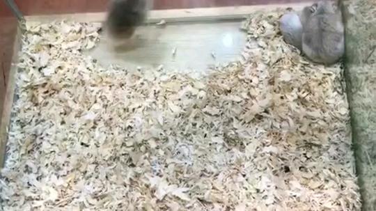 好可爱的仓鼠