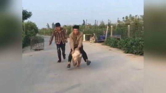 【搞笑】你认我做大叔,我教你骑老母猪