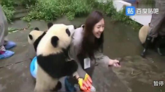 羡慕这只大熊猫的有几个?