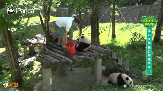 【直播时刻】海归大熊猫们的端午节! 20190607 16点场