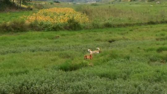 两只相爱的狗狗不想回家,欢快的在草地里玩耍????