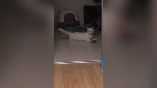 【看图识猫】问题:视频中出现了几只猫?