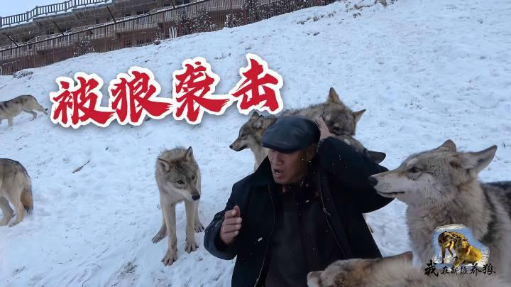 """小狼膽肥了""""襲擊""""養狼人,背后看過去都是狼,大爺二話不說就打"""