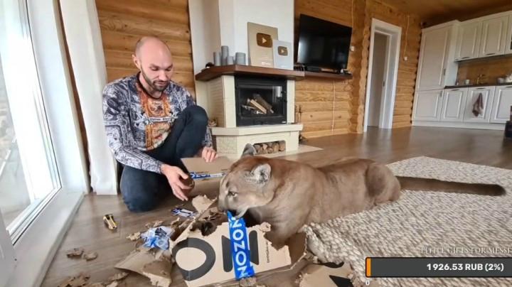 原來美洲獅也喜歡玩紙盒!這就是個大貓咪嘛