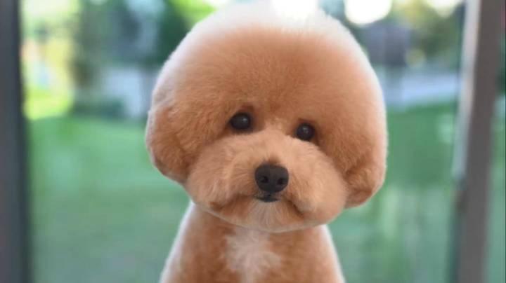 超萌狗狗做造型,好像一只寵物玩具狗狗!