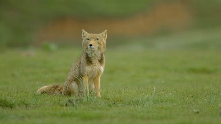 探秘藏狐-行走的表情包