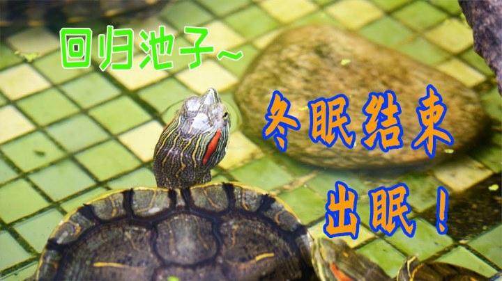 【烏龜日記】櫻花的季節,在家賞龜,真舒服|巴西龜出眠|龜池