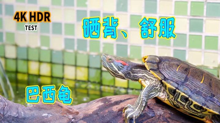 【烏龜日記·4K HDR】巴西龜休閒曬背,龜池紀錄|治癒|H